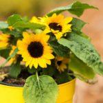 When To Transplant Sunflowers? 4 Efficient Factors!