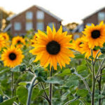 How To Prune A Sunflower? 4 Free Ways!
