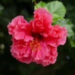How To Plant Bare Root Hibiscus? 16 Exclusive Ways!