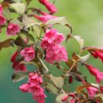 When Do Crape Myrtles Bloom In Britain? More Discovered!