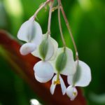 How To Collect Begonia Seeds? 2 Easy Steps!