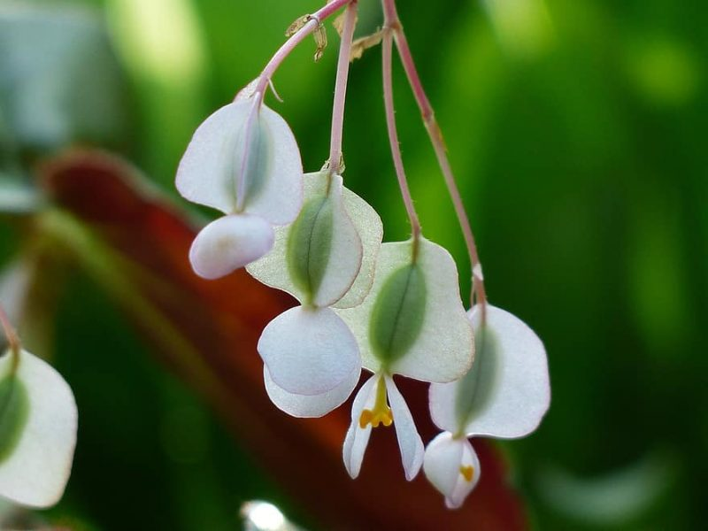 How To Collect Begonia Seeds. Best 2-Step Guide|