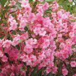 How To Propagate Oleander? 2 Easy Methods!