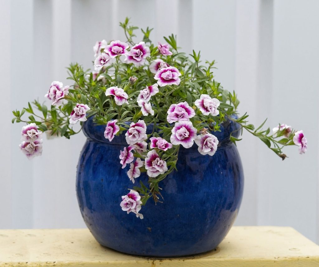how to propagate calibrachoa