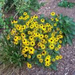 How To Transplant Black Eyed Susans? 3 Powerful Steps!