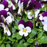 How To Germinate Pansy Seeds? 6 Free Steps!