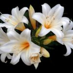 When To Start Growing Easter Lilies In Polytunnel? Video Explainer!