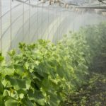 How to Grow Vegetables in a Polytunnel Year-Round? 4 Special Tips!