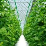 How to Keep Your Polytunnel Cool? 3 Special Varieties Explained!