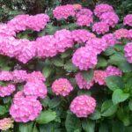 When To Cut Back Endless Summer Hydrangeas? 3 Seasons Explained!