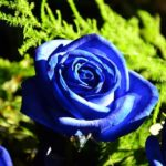How To Grow Blue Roses? 7 New Steps!
