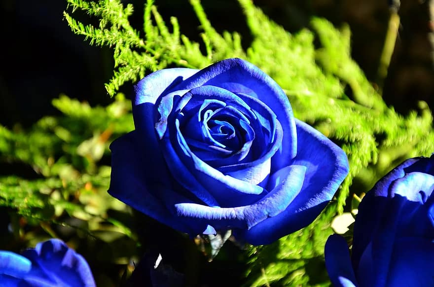 how to grow blue roses