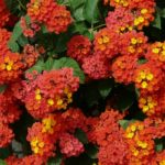 When To Transplant Lantana? 4 Proven Facts!