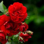 How Do I Keep My Roses Disease Free? 6 Special Ways!