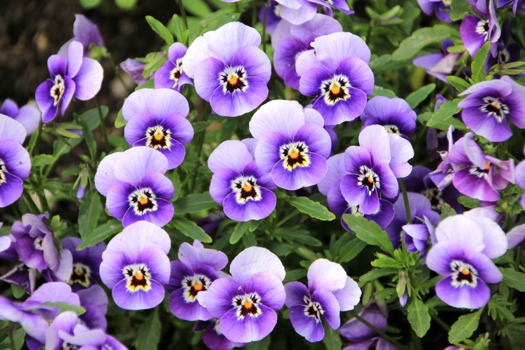 When To Plant Pansies In Oklahoma