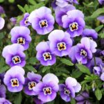 When To Plant Pansies In Manchester? The Full Explainer!