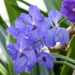 How To Dye Orchids Blue? Example of 2 Efficient Ways!