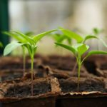 When Do I Remove Seedlings From Hobby Polytunnel