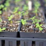 When To Transplant Seedlings Hydroponics? Example Video Download!