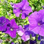 How To Revive Dying Petunias? 2 Special Benefits!