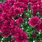 How To Keep Mums From Blooming Too Early? 3 Examples!