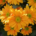 How To Root Mums? 3 Benefits For Beginners!
