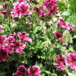 How To Care For Martha Washington Geraniums? 4 Efficient Examples!