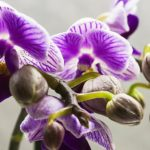 How Long Do Just Add Ice Orchids Last? With Pictures!