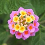 How To Root Lantana From Cuttings? 2 Proven Tips!