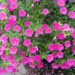 How To Propagate Petunias? 2 Special Ways!