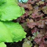 Plants That Go Well With Heuchera? 4 Proven Types!