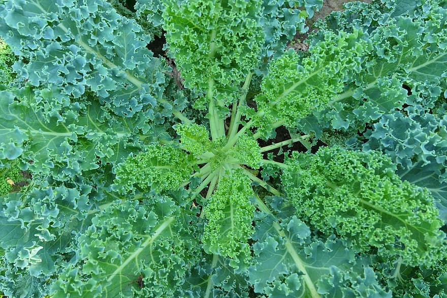 How to Grow Kale in a Hobby Greenhouse - A Step-By-Step Guide