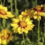 Where to Plant Coreopsis? 4 Secret Factors!