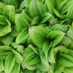 How To Grow Hellebores From Seed. Use Guide