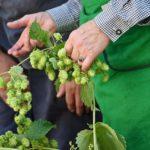 How To Harvest Hops? 2 Exclusive Factors!