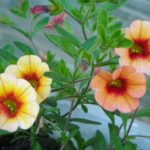 How To Collect Calibrachoa Seeds? 2 Free Tips!