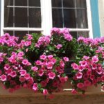 How To Grow Petunias From Cuttings? 4 Bonus Steps!