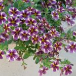 How To Prepare Petunia Planting In A Polytunnel? 5 Bonus Steps!