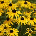 How to Harvest Echinacea? 5 New Ideas!