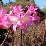 How To Plant Easter Lily Bulbs, 3 Proven Steps!