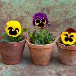 How To Grow Pansies In Pots? 3 Special Benefits!