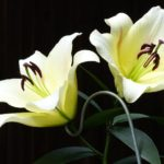 How To Force Lilies To Open? 5 Effective Tips!