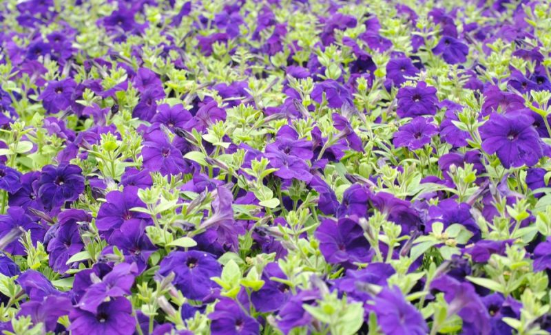 What Are The Optimal Temperatures In A Greenhouse For Growing Petunias