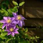 When To Transplant Clematis? 4 Special Steps!