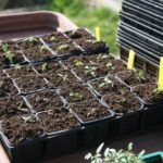 When to Transplant Basil Seedlings? More Discovered!