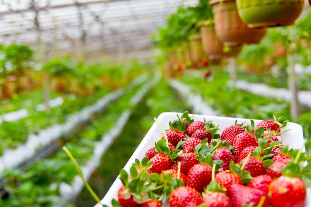When To Plant Strawberries In Michigan For Success