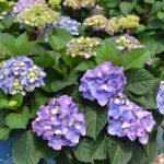 How to Prune Endless Summer Hydrangeas? 5 Powerful Tips!