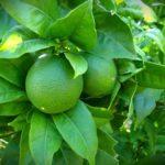 How Fast Does Lemon Lime Nandina Grow? 3 Effective Advice!