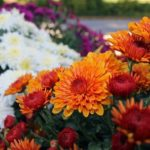 When To Transplant Hardy Mums? The Clue!