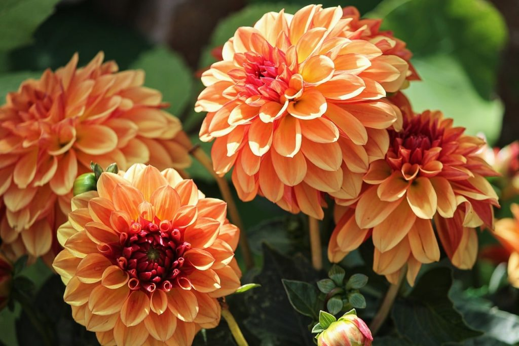 How To Fertilize Dahlias In 3 Easy Steps